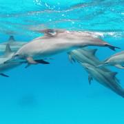 Spinner Dophins