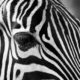 WooCommerce Zipping Zebra